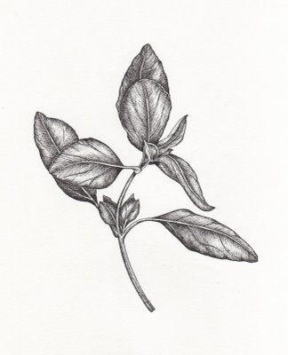 Basil Drawing
