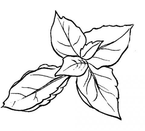480x435 Basil Plant Images For Art Basil Plant