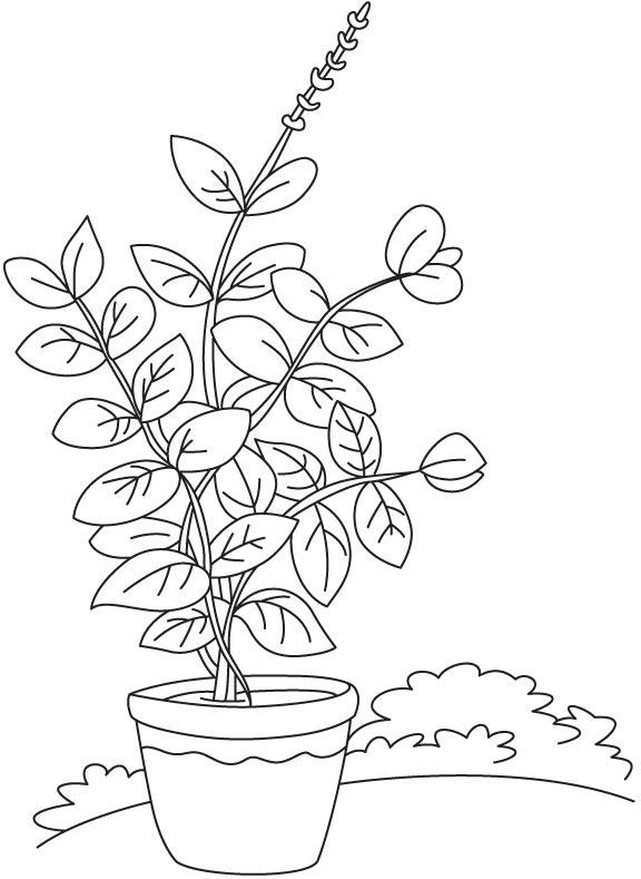 576x789 Basil Vase Plant Coloring Page Download Free Basil Vase Plant