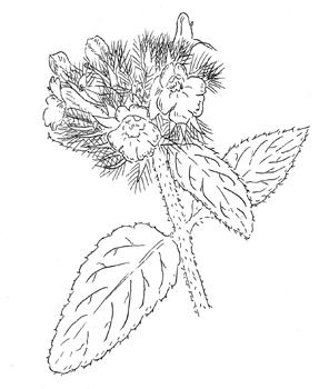 287x350 Clinopodium Vulgare, Wild Basil