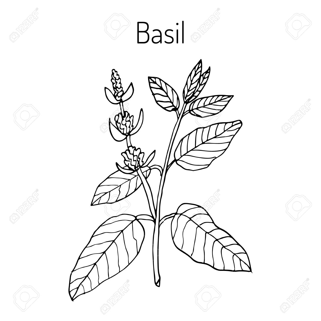 1300x1300 Basil, Thai Basil, Or Sweet Basil, Culinary And Aromatic Herb