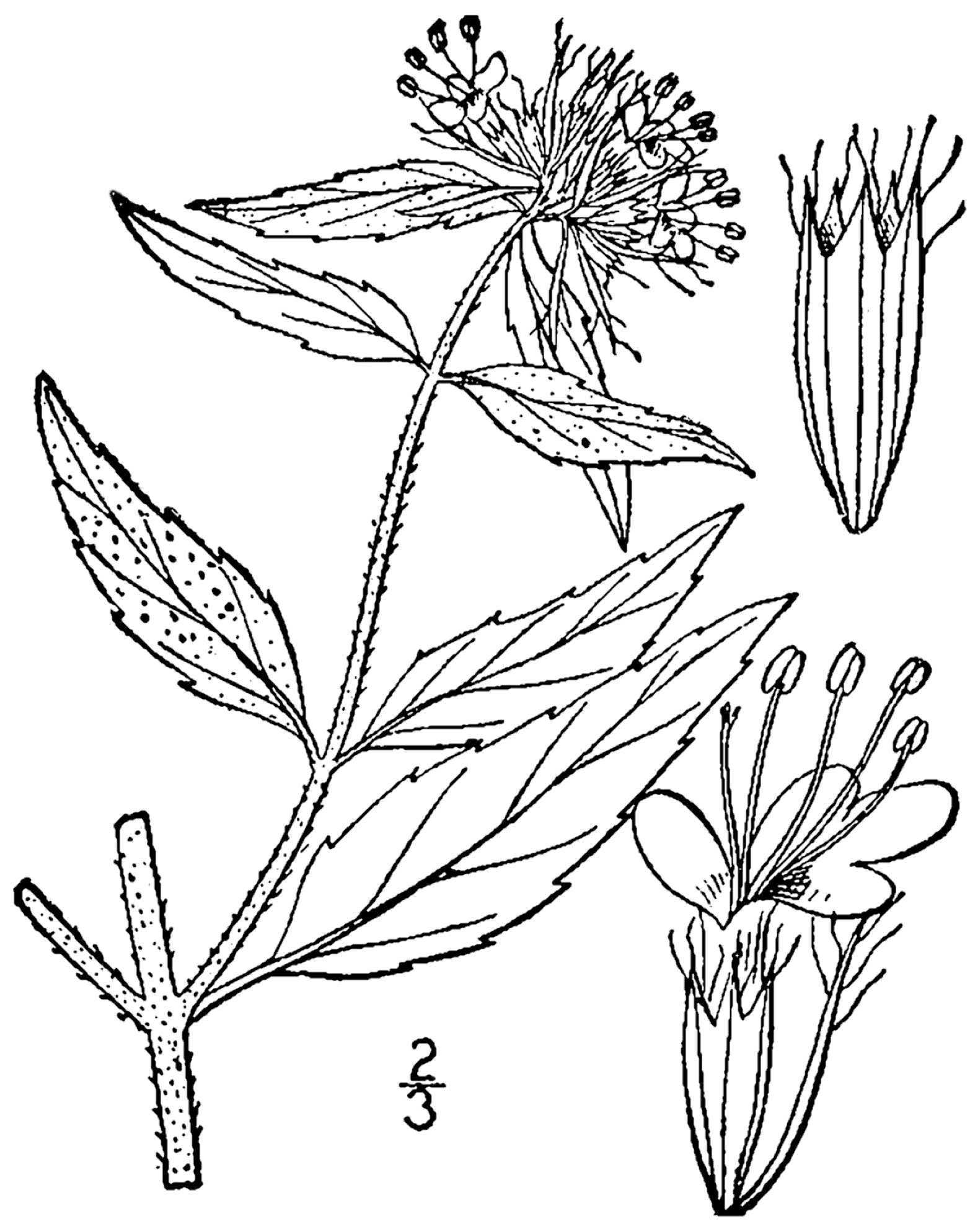 1578x1988 Filepycnanthemum Clinopodioides Drawing 1.png