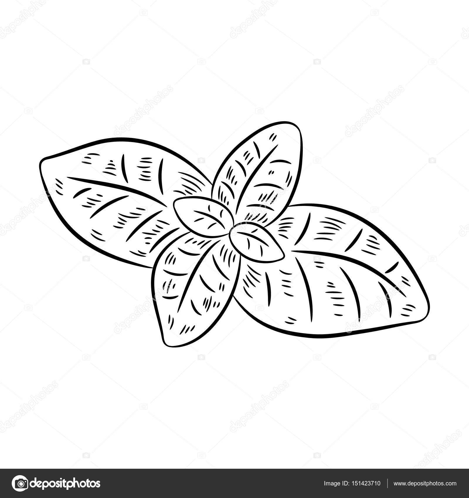 1600x1700 Hand Drawn Sketch Style Basil Stock Vector Ismagilovilnaz999