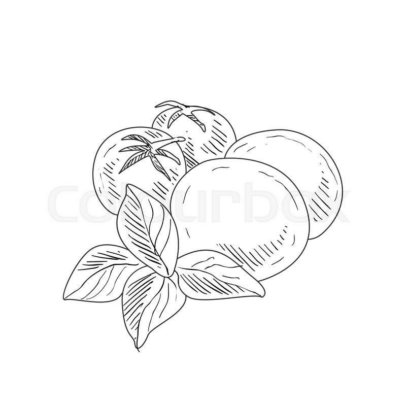 800x800 Mozzarella, Tomato And Basil Hand Drawn Realistic Detailed Sketch