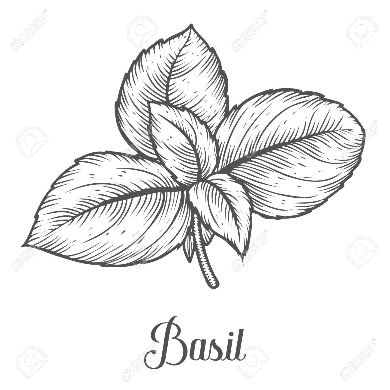 1300x1300 Basil Fresh Herb Leaves Plant Vector Hand Drawn Illustration