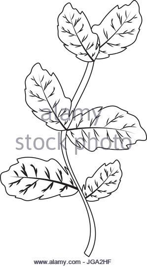 298x540 Basil Leaf Illustration Stock Photos Amp Basil Leaf Illustration