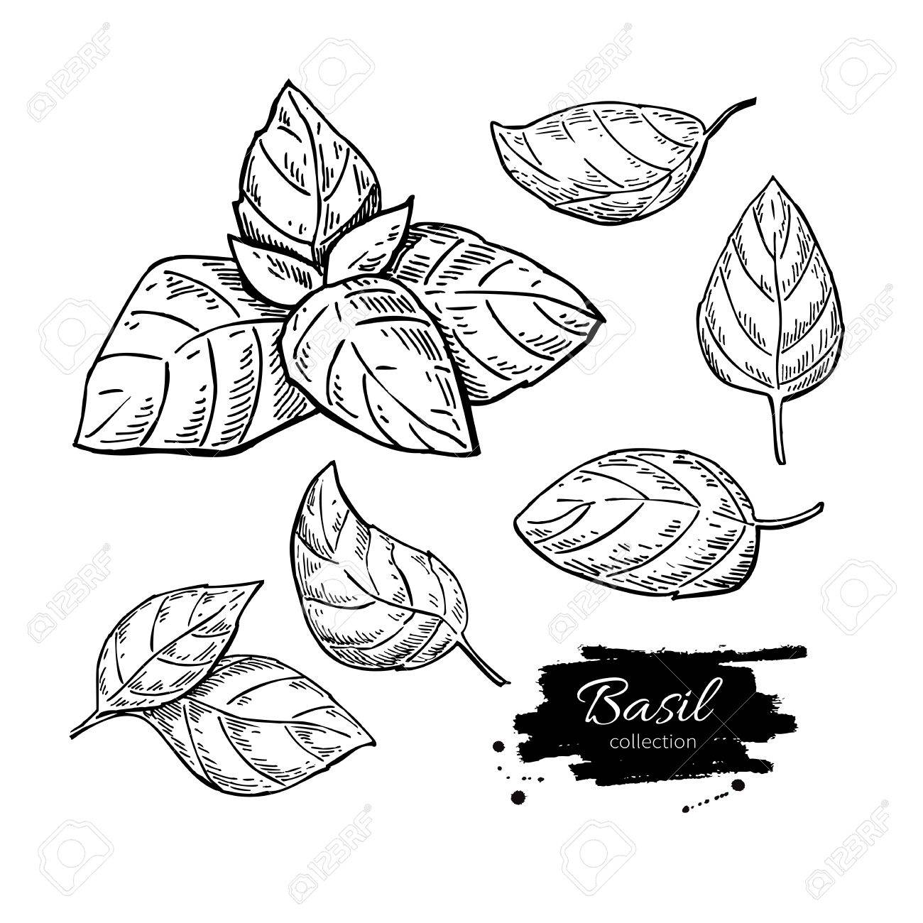 1300x1300 Basil Vector Drawing Set. Isolated Plant With Leaves. Herbal