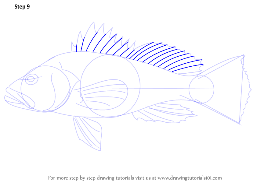 842x598 Learn How To Draw A Black Sea Bass (Fishes) Step By Step Drawing