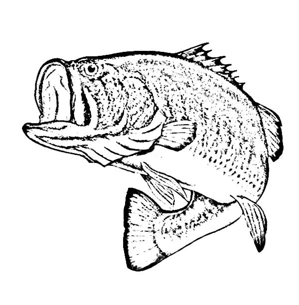 600x612 Bass Fish, Sketch Of Bass Fish Coloring Pages Fish