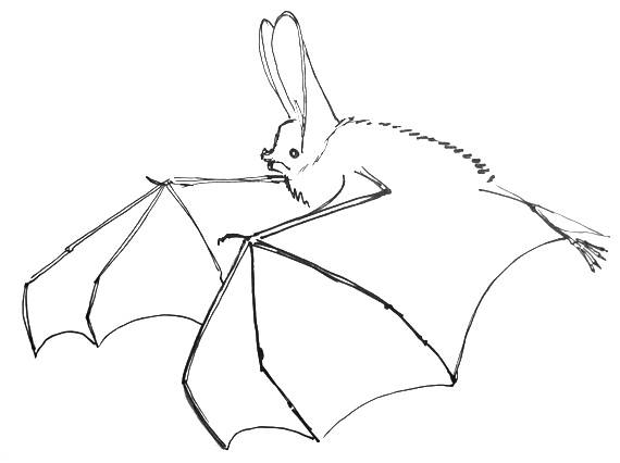 570x426 How To Draw A Bat