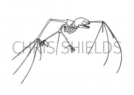 550x392 Tent Building Bat Skeleton M002 Illustration Mammal