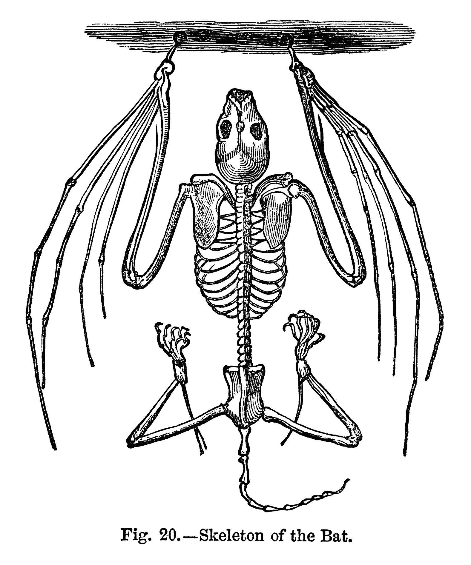 1577x1893 Vintage Halloween Clip Art, Bat Clip Art, Black And White