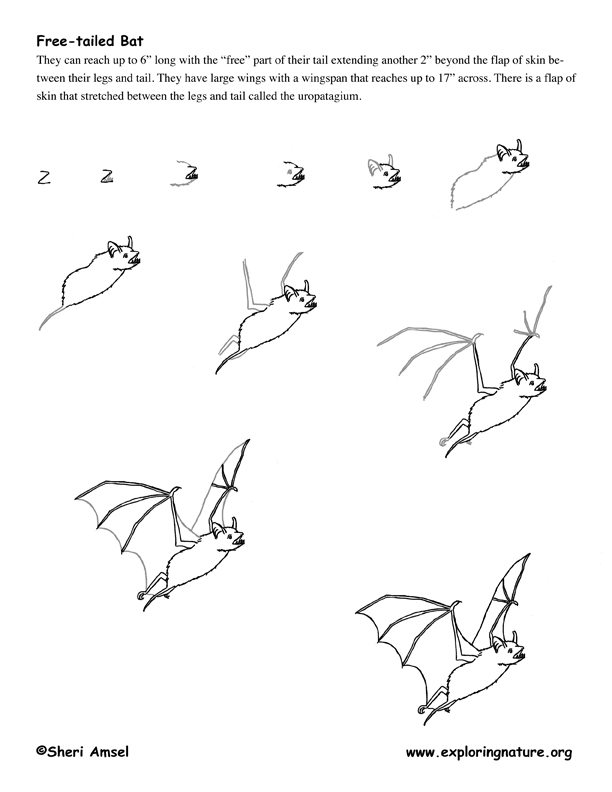 612x792 Raccoons Drawing Sketches Bat Freetail Drawing72dpi.jpg Second