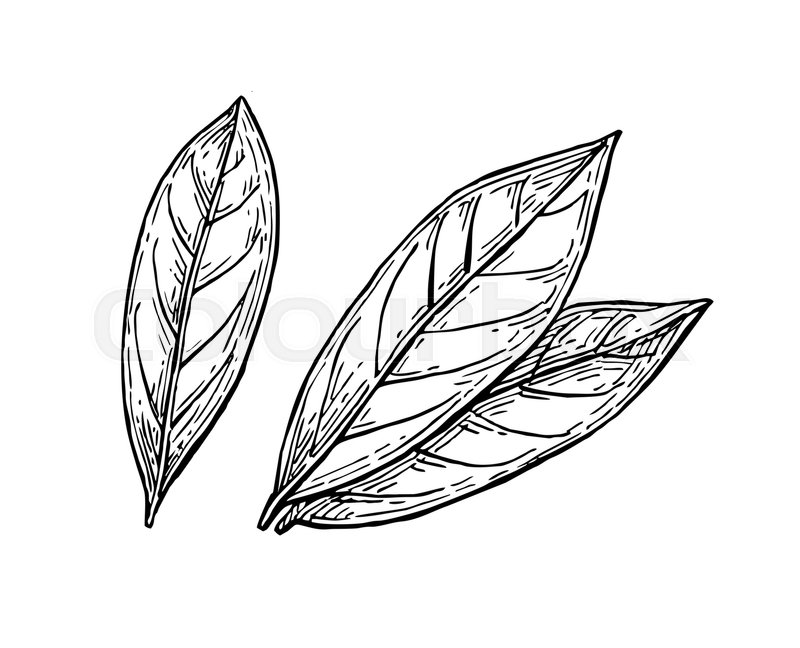 800x648 Bay Leaves Ink Sketch. Isolated On White Background. Hand Drawn