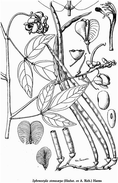 Bean Plant Drawing