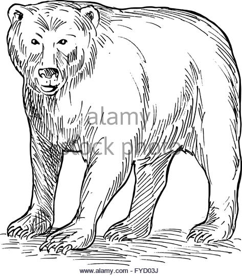473x540 Bear Drawing Stock Photos amp Bear Drawing Stock Images