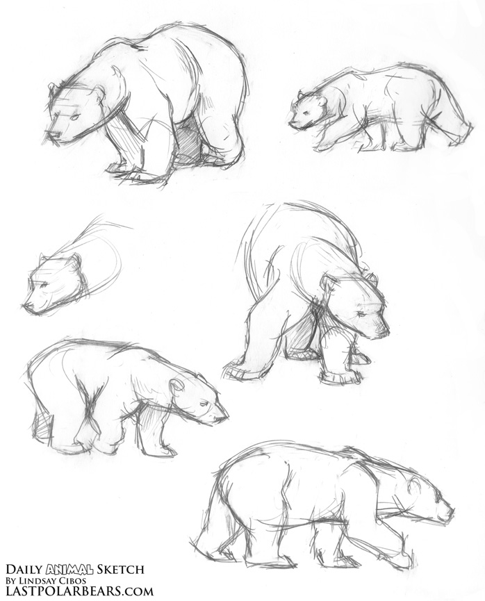 698x865 Lindsay Cibos' Art Blog Daily Animal Sketch Polar Bear Warm Ups