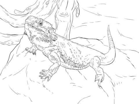 480x360 Central Bearded Dragon Coloring Page Free Printable Coloring