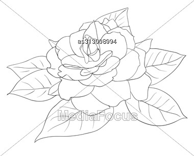 380x306 Beautiful Flowers Roses White Background Drawn By Hand