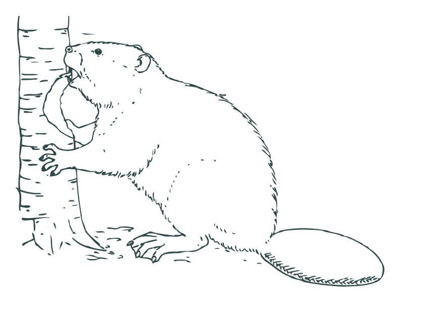 875x620 Coloring Page Beaver