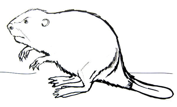 601x365 How To Draw A Beaver