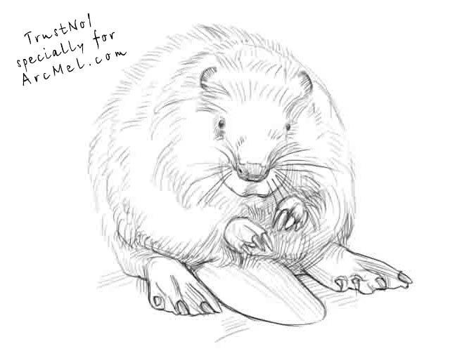667x500 How To Draw A Beaver Step 4 Art