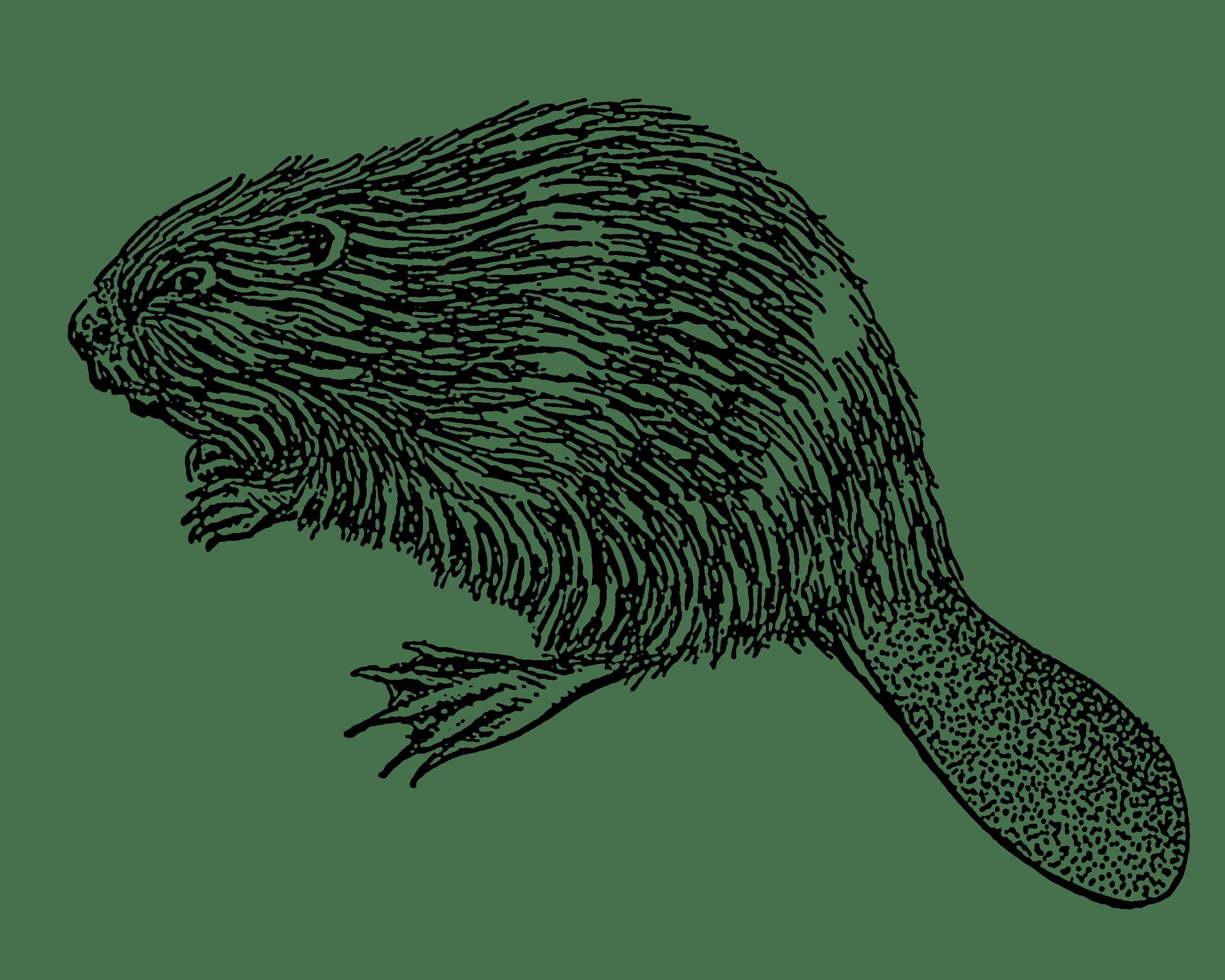2245x1796 Beaver Illustration Transparent Png