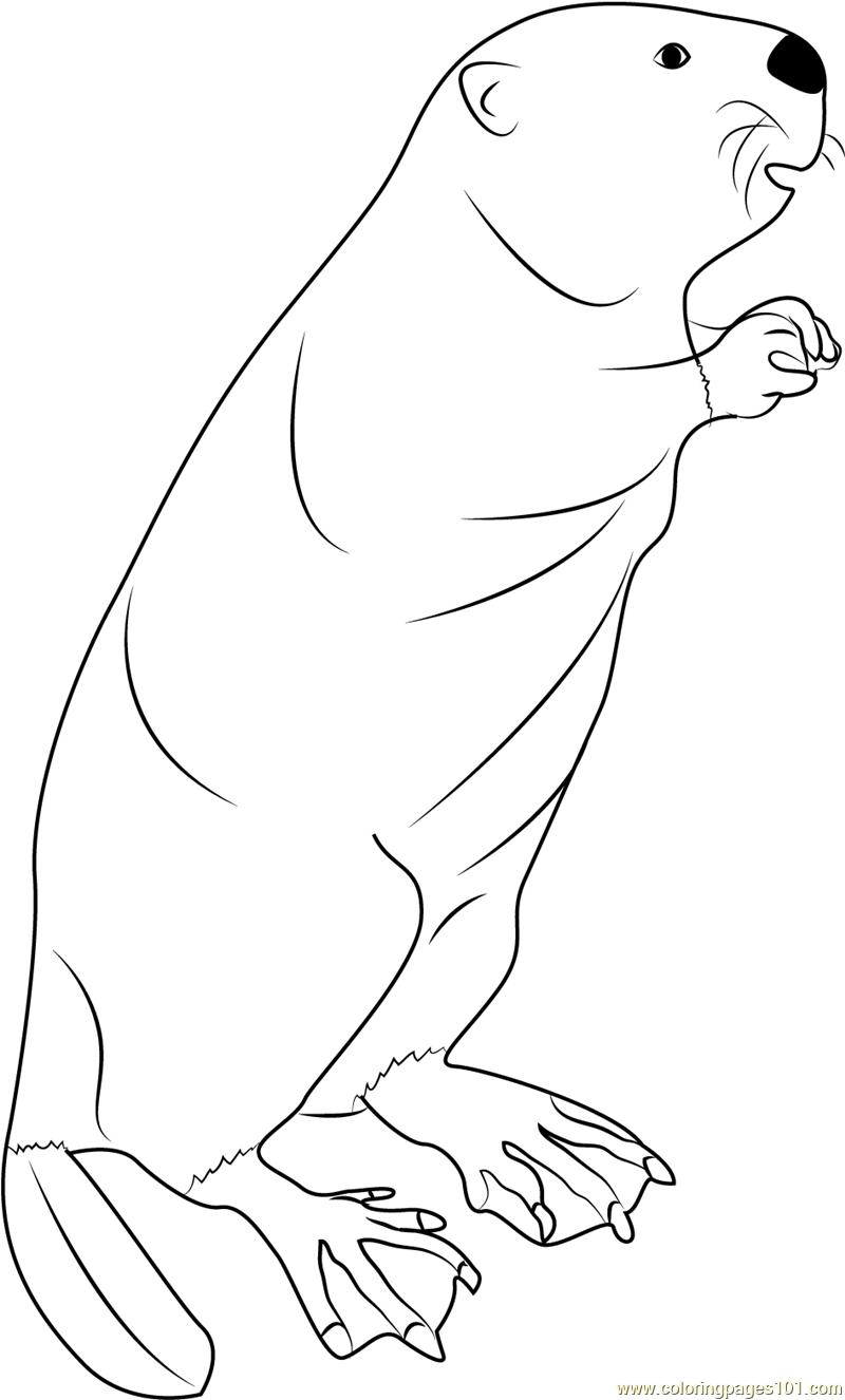 800x1326 Beaver Standing Coloring Page