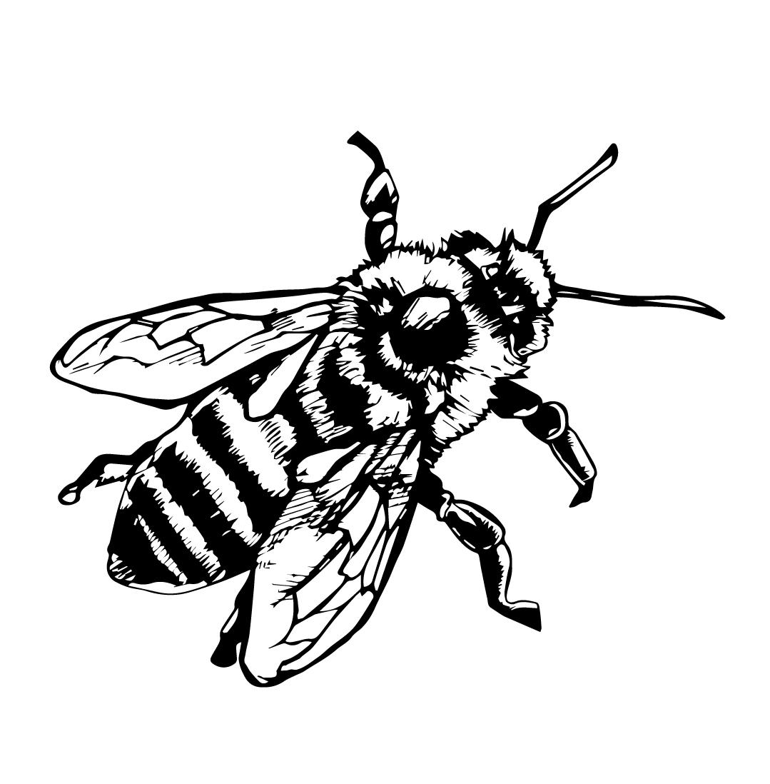 1079x1098 Honey Bee Scientific Drawing Example Of One A Honeybee. Fun