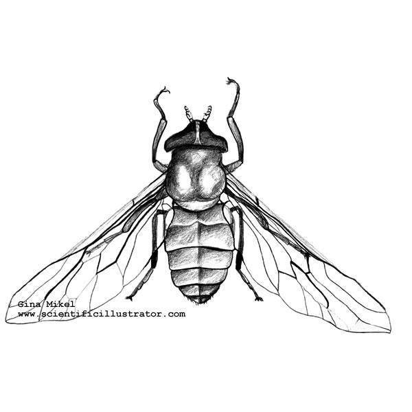 600x600 Horsefly Illustration