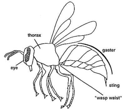 400x356 Identification Wasp Web Manaaki Whenua