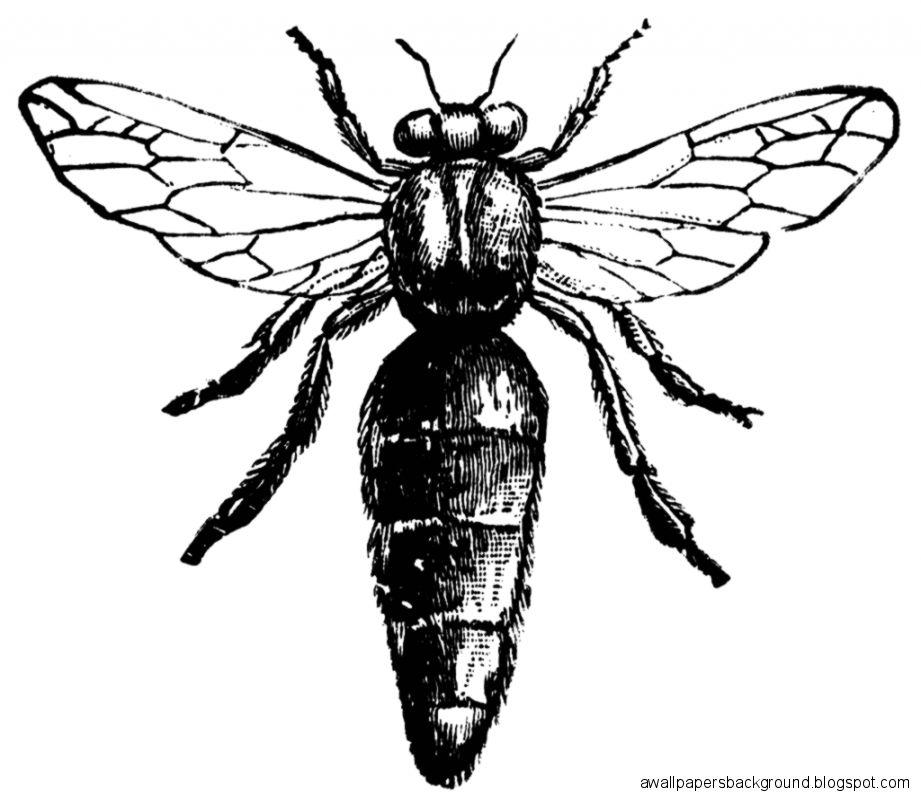 921x798 Queen Bee Scientific Drawing Wallpapers Background