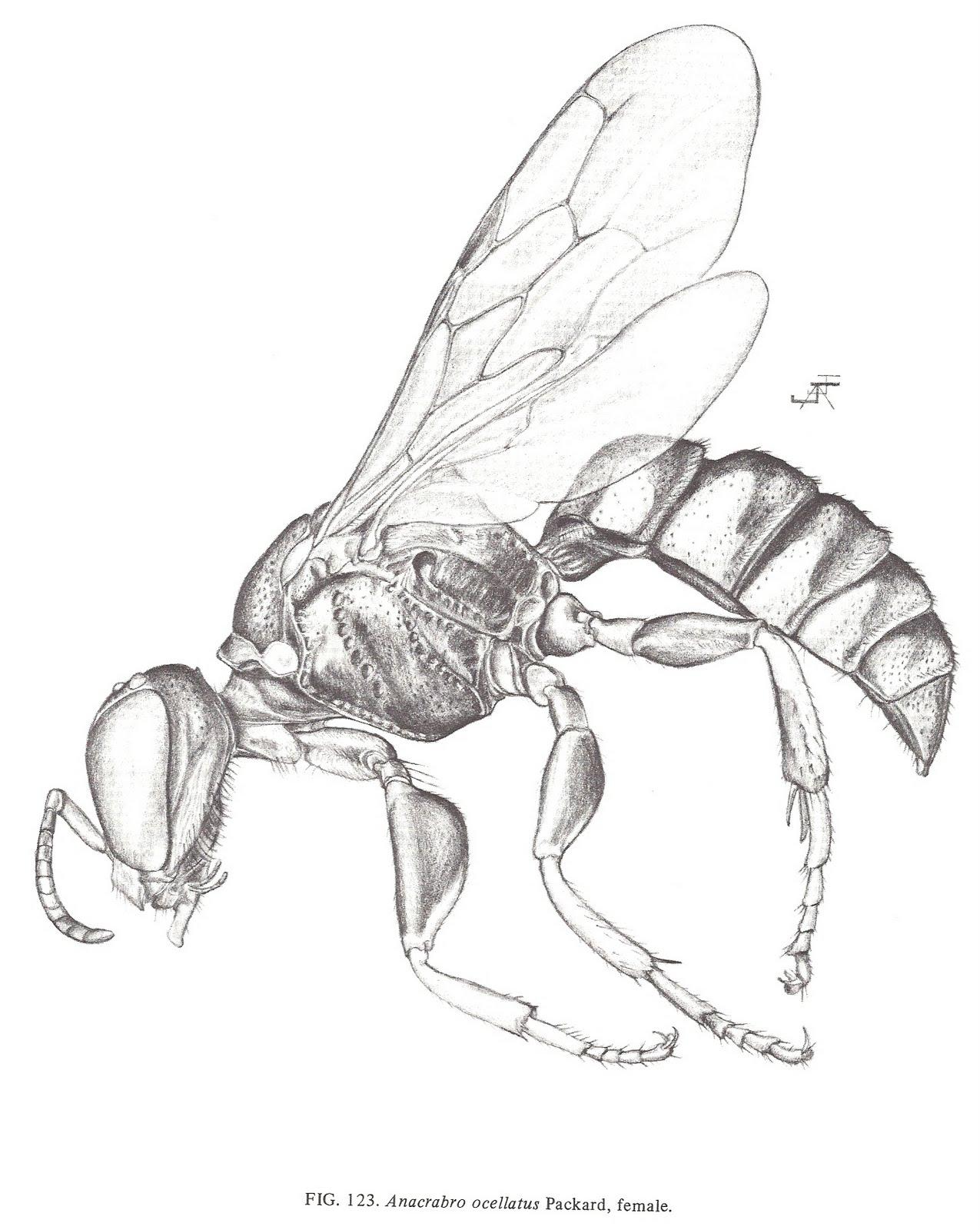 1275x1600 Bug Eric Wasp Wednesday Anacrabro Ocellatus
