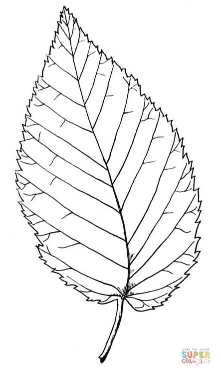 443x750 Beech Leaf Coloring Page Free Printable Coloring Pages