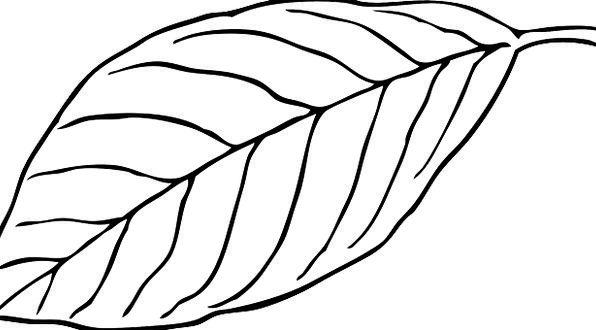 596x330 Leaf, Foliage, Snowy, Beech, White, Outline, Plan, Vein, Nerve