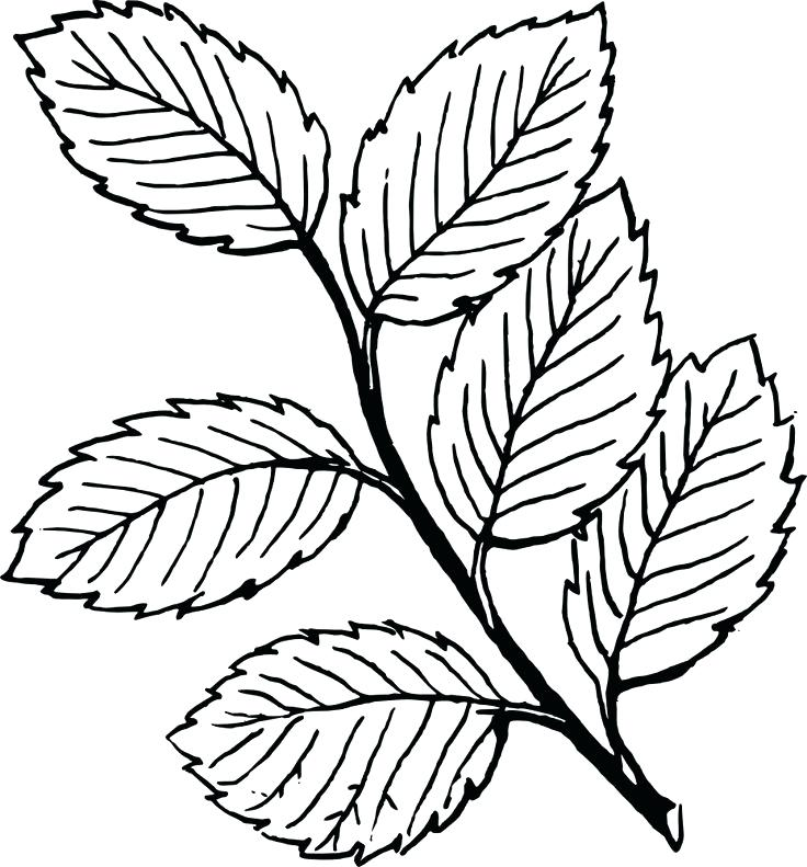 736x791 Leaf Coloring Beech Tree Leaf Coloring Page Printable Pages Click