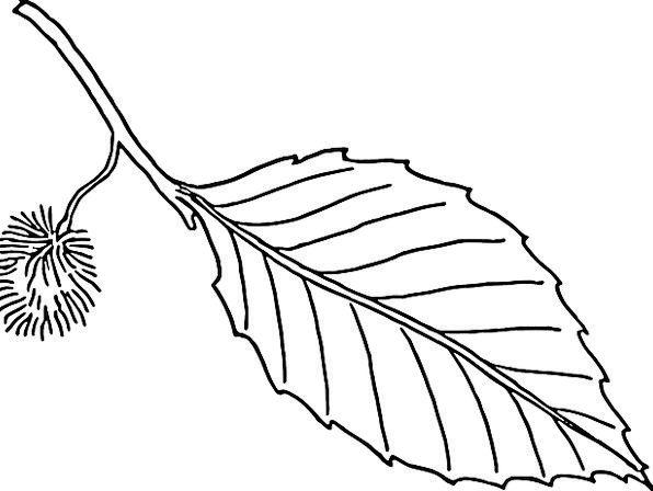 596x448 Beech Leaf, Beech, Beech Tree, European Beech, Common Beech, Fagus