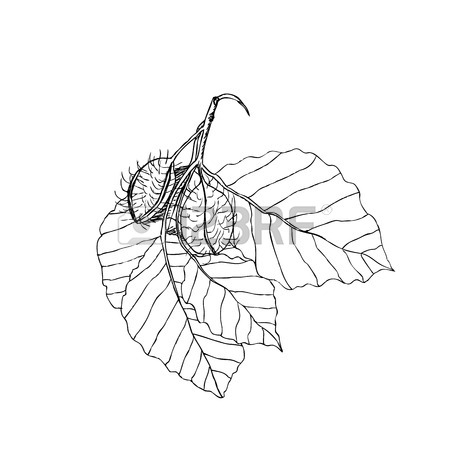 450x450 Beech Tree Leaves Pictures Stock Photos. Royalty Free Business Images
