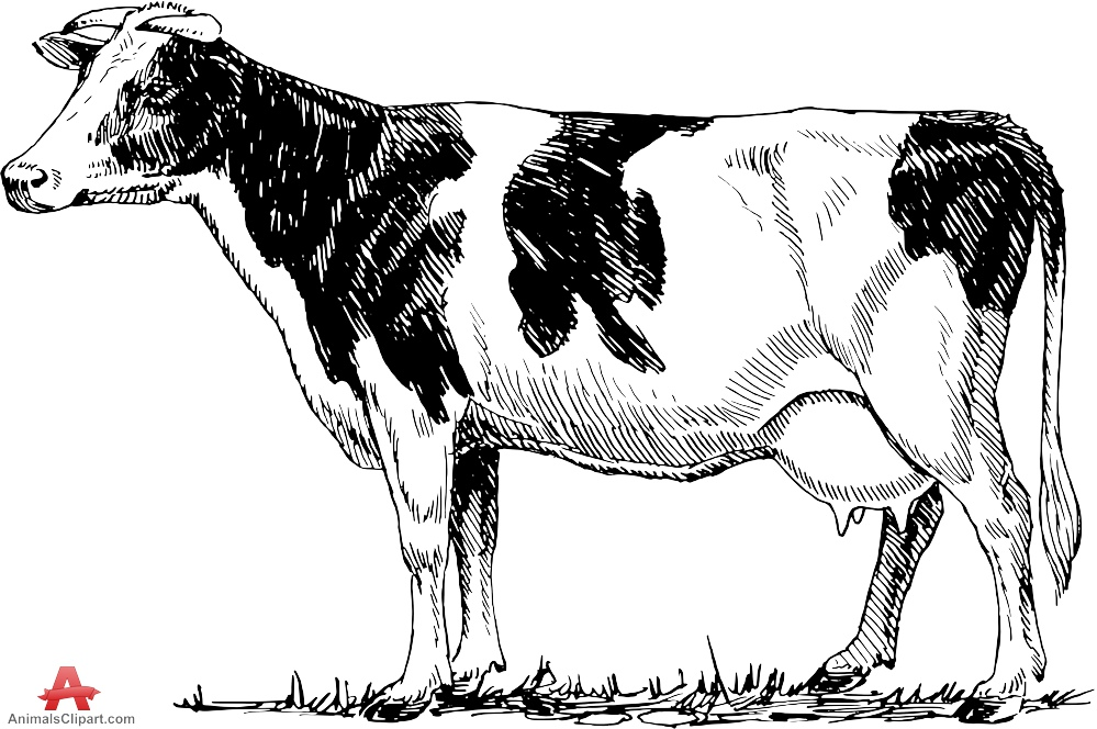 999x664 Cattle Drawing Clipart