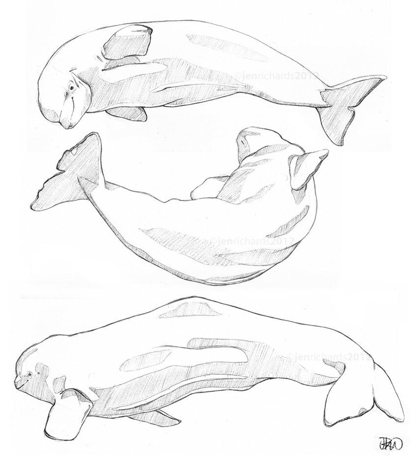 849x941 Beluga Sketches By Odontocete
