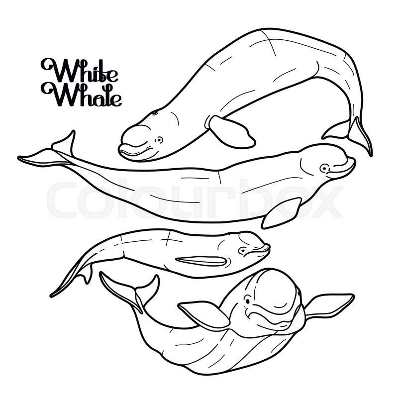 800x800 Graphic Beluga Whale Collection. White Whale. Sea Creature