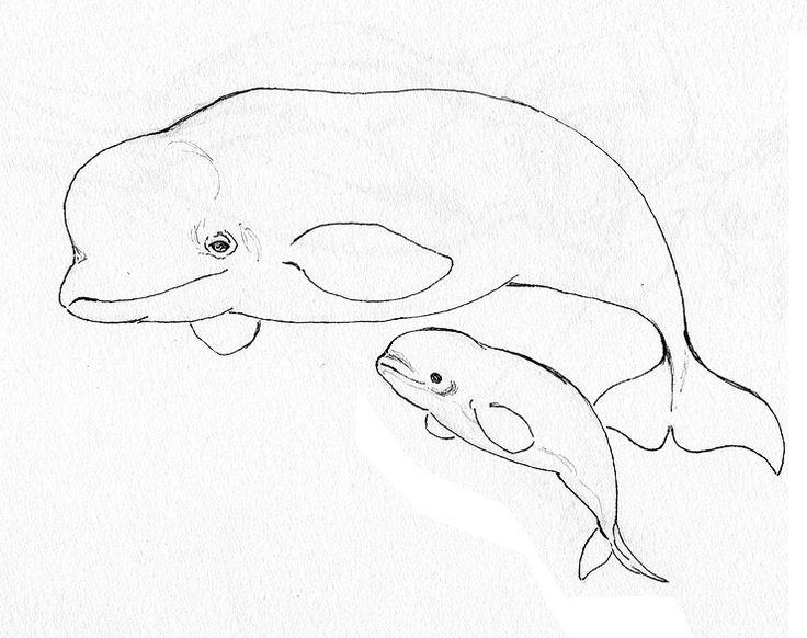 736x582 Beluga Whale Drawing