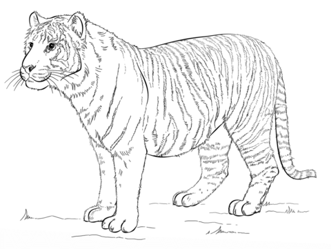 480x361 Sumatran Tiger Coloring Page Free Printable Coloring Pages