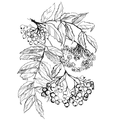 380x400 33. Rowan Branch Drawing Vector Berries On Branches