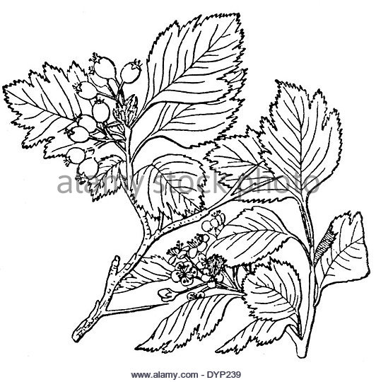 532x540 Hawthorn Berries Drawing Stock Photos Amp Hawthorn Berries Drawing