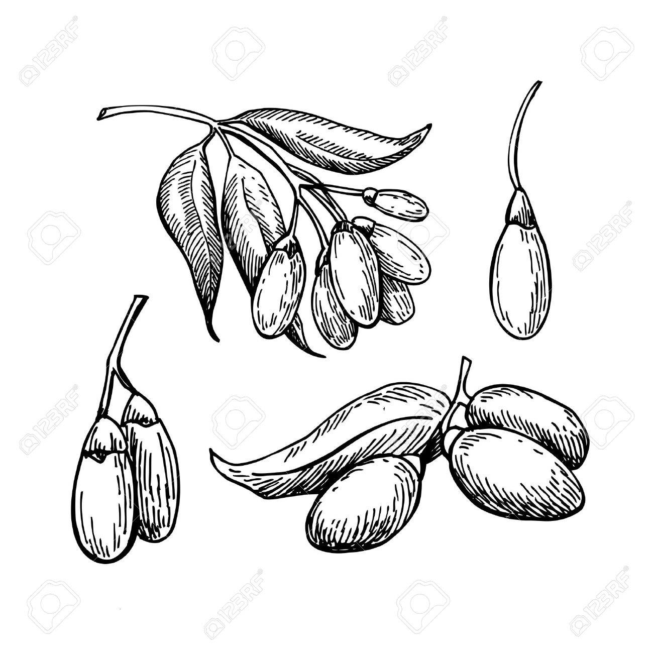 1300x1300 Goji Berry Vector Superfood Drawing Set. Isolated Hand Drawn