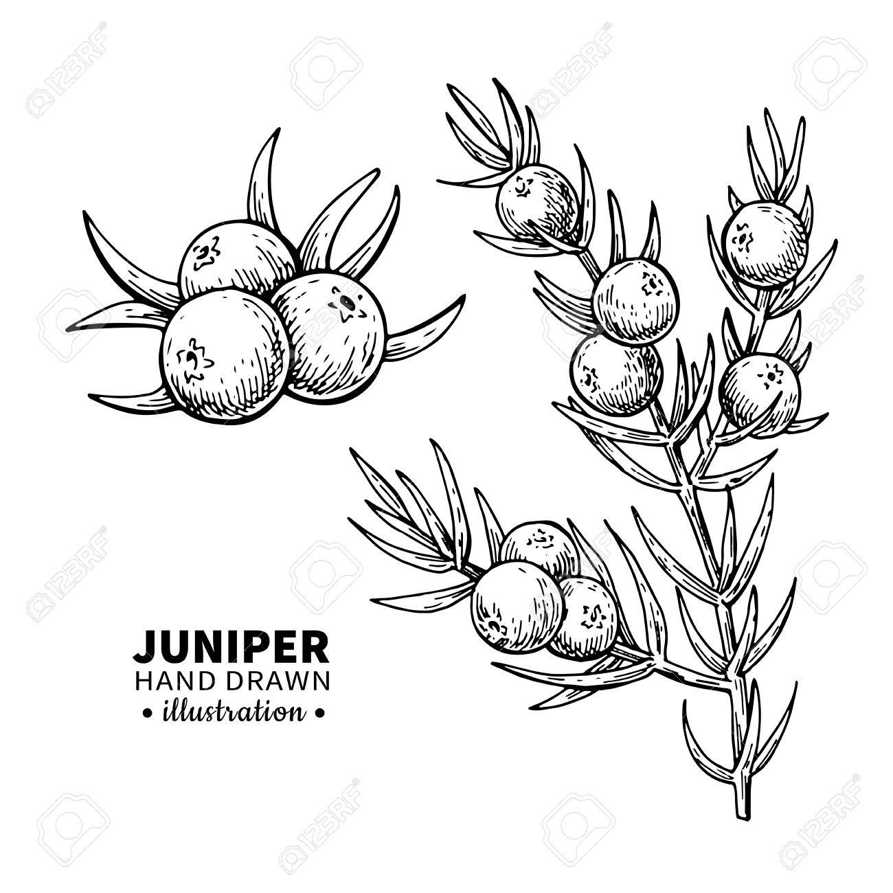 1300x1300 Juniper Vector Drawing. Isolated Vintage Illustration Of Berry