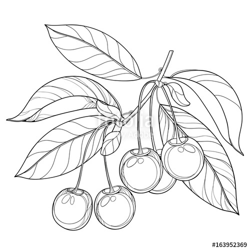 500x500 Vector Branch With Outline Ripe Cherry, Bunch, Berry And Leaves