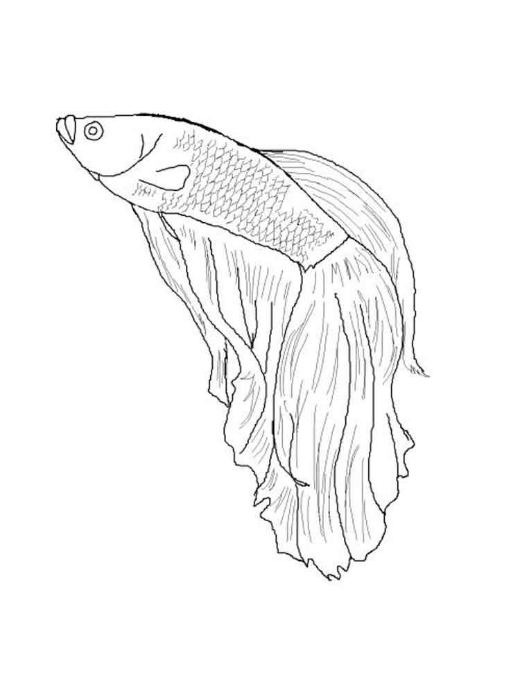 Beta Fish Drawing