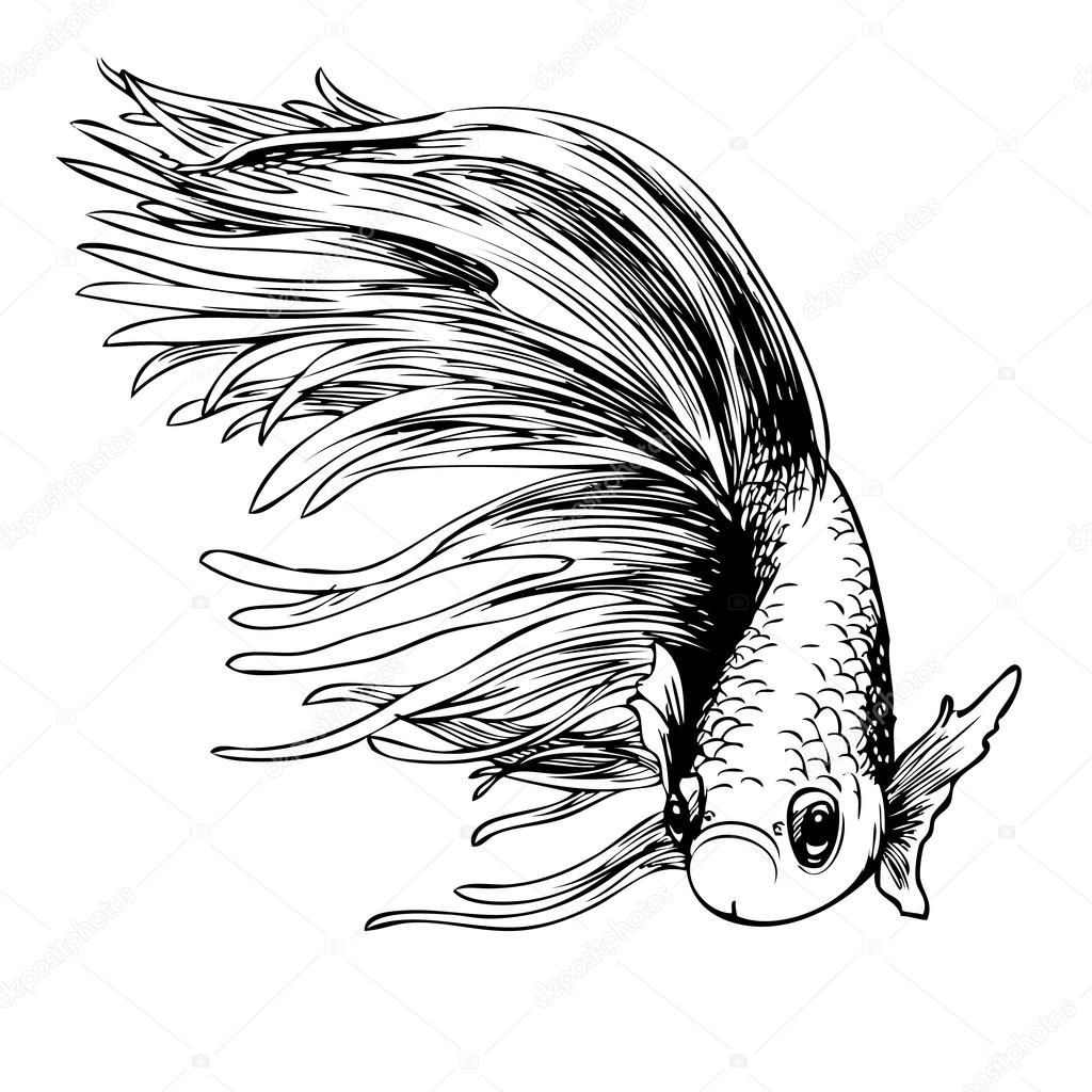1024x1024 Betta Splendens, Siamese Fighting Fish Stock Vector Simplebe